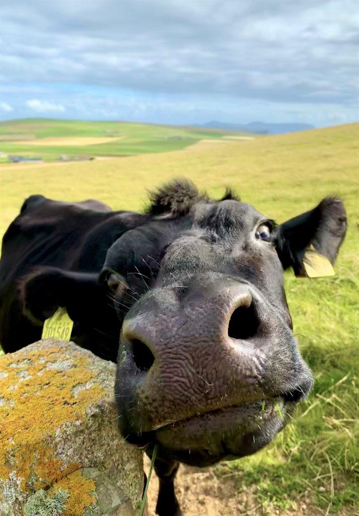 closeup of cow